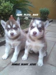 Husky Siberiano : Femeas preços de ocasiao olhos azuis