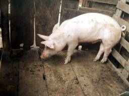 Porco. Leitao