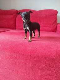 Machinho de pinscher