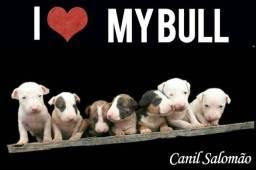 Filhotes de Bull Terrier a mais pura qualidade da raça