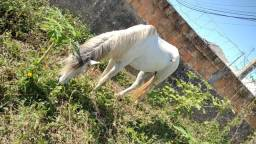 Vendo cavalo pata larga Machado