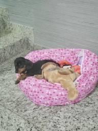 Cachorro Basset Dachshund fêmea com 2 meses