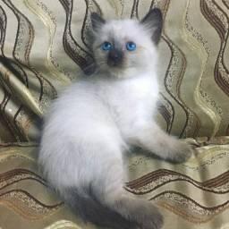 Majestic*Filhotes Disponíveis*Olhos azuis*2 meses*Fotos Reais*Filhote Siamês*Pais no local