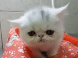 Venda gato persa (fêmea)
