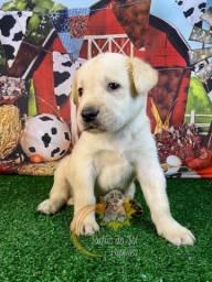 Labradores Filhotes Lindos