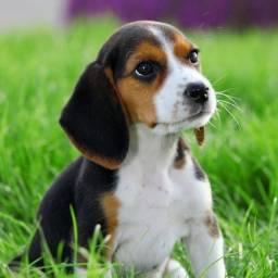 Beagle filhotes adoráveis a pronta entrega