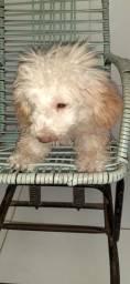 Filhote de poodle toy TM 1
