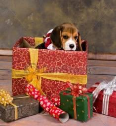 Beagles para o Natal!