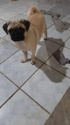 Pug de 5 meses macho