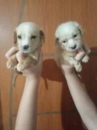 Lindos filhotes de pincher com poodle