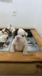 Filhotes de Bulldog inglês