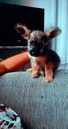 Vende-se filhote de cachorro poodle(macho)