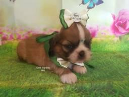 Lindos Shih Tzu com pedigree canil Top Dog Star