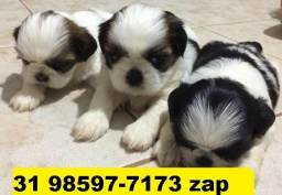 Canil Filhotes Cães Top BH Shihtzu Beagle Lhasa Maltês Yorkshire Basset Poodle