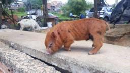 Porco Mini pig