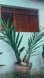 Orquídea Cyrtopodium