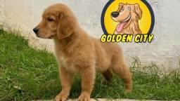 Filhote Golden Retriever Macho - Pedigree e microchip