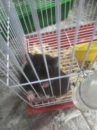 Hamster sírio fêmea 6 meses