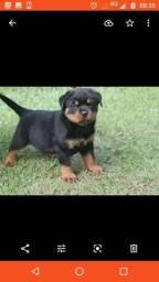 Rottweiler fêmea disponível
