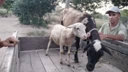 Vendo ovelha parida