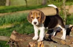 : Filhote tricolor de Beagle, com pedigree de qualidade. :