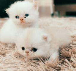 Filhotes de Persas