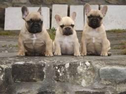 Bulldog Francês com Pedigree e Garantia!!