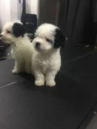 Poodle fêmea