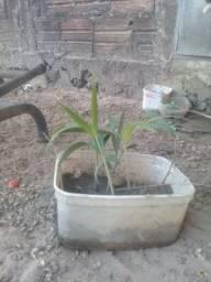 Palmeira colonial