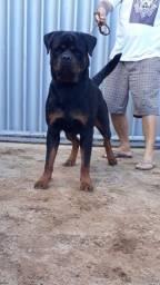 Reserva de rottweiler com pedigree