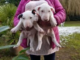 Bull Terrier Inglês filhotes com garantias a venda