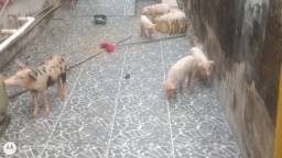 Porco Piau com Pietram