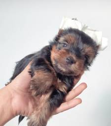 Yorkshire terrier macho