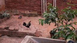 Troco galinha garnize por pombo branco.