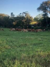 Vaca Jersey