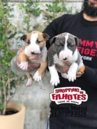 Bull Terrier, disponíveis para retirada hoje! (11) 9727-277-78
