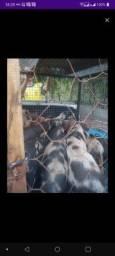 Vendemos porcos de varios preços