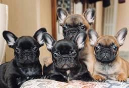 Promoção de dia das mães filhotes de Bulldog Francês
