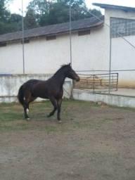Vendo cavalo raça crioulo com documento