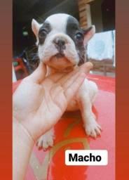 Bulldog francês vacinado vermifugado