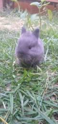 Filhotes de coelhos anão netherland importado