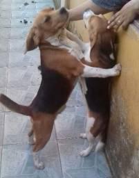 Beagle casal beagle
