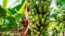 Vende - se cachos de banana