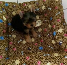 1 Filhote de Yorkshire Terrier. Contato Ilza: 981198285