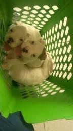 Filhotes de cachorro boxee