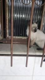 Lindo Gato Siamês