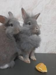Casal de mini coelho