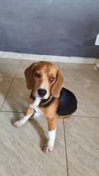 Beagle fêmea 7 meses