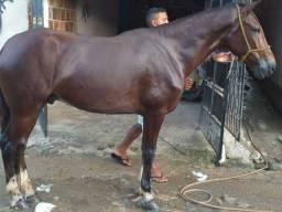 Vendo ou troco cavalo mangá larga iniciando na marcha picada