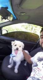 Poodle com maltês para cruzar